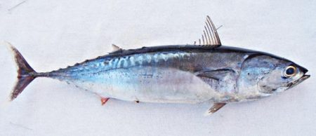 سمك التونة صور