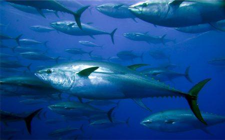 سمك التونة (1)