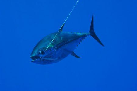 سمك تونه (1)