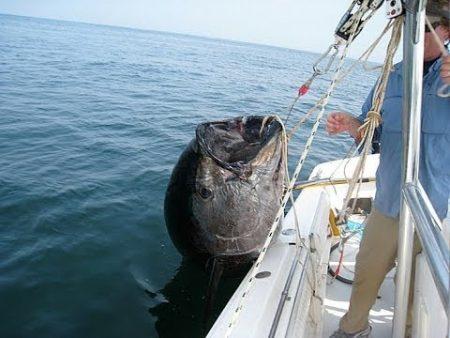 صورة سمك التونة (1)