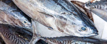 صور سمكة التونة (2)