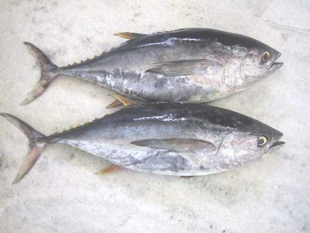 صور سمكة التونة (3)