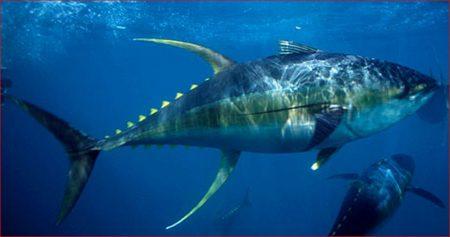 صور سمك التونة رمزيات و خلفيات سمكة التونة (2)
