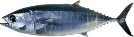 صور سمك التونة (1)
