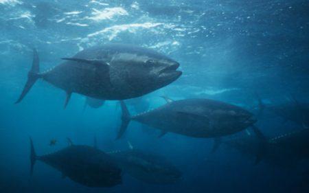 صور سمك التونة (2)