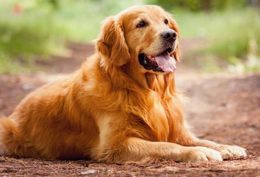 اسعار الكلاب الجولدن