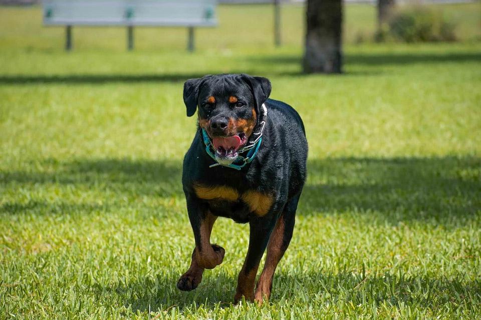 اسعار كلاب روت وايلر