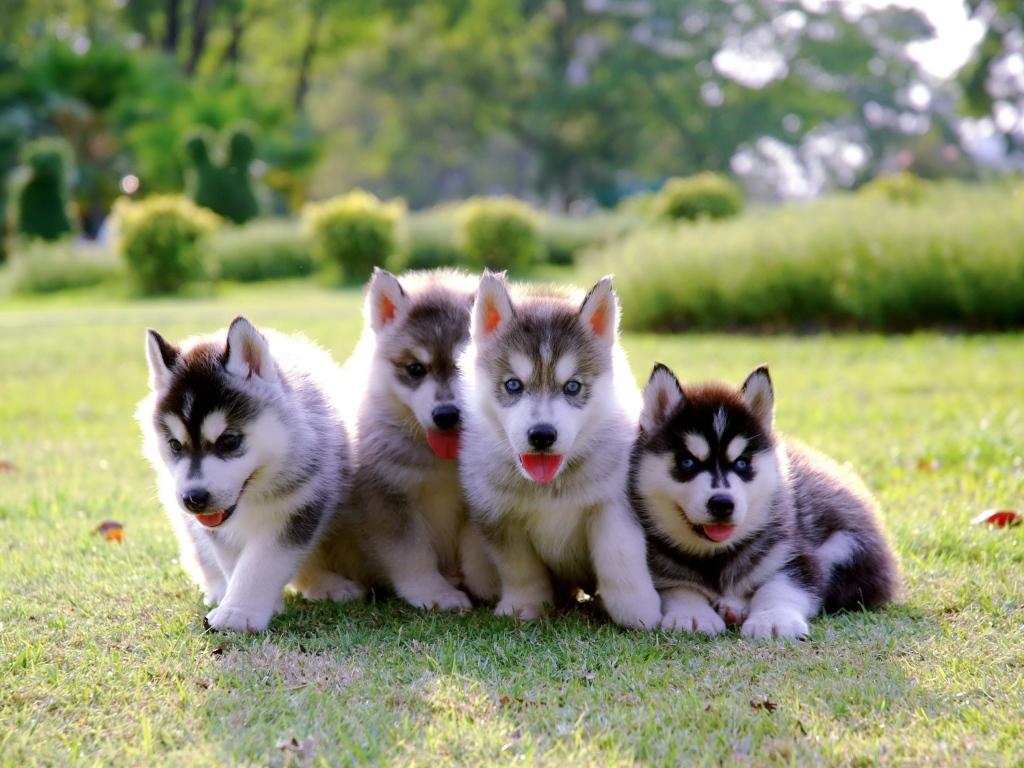 اسعار كلاب هاسكي