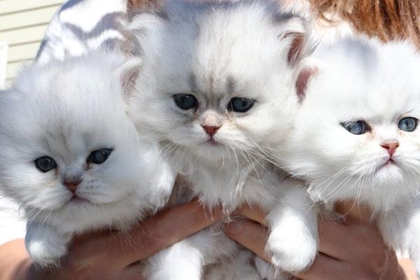 سعر القطط الشيرازي