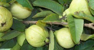 فوائد واضرار الجوافة